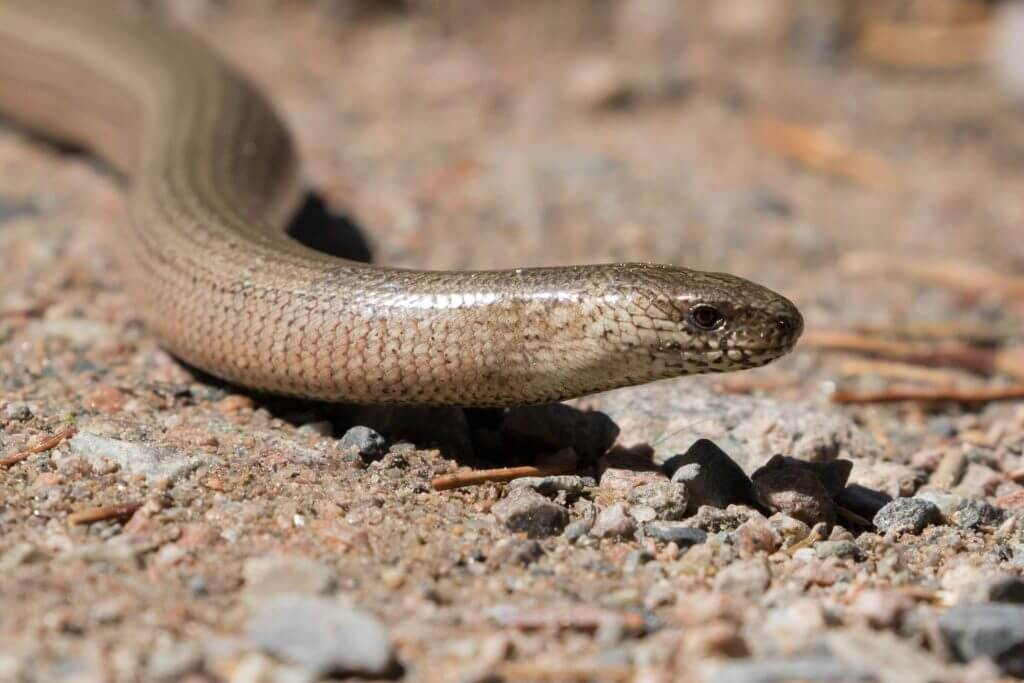 Slow Worm @ Nittedal, Norway. Photo: Håvard Rosenlund