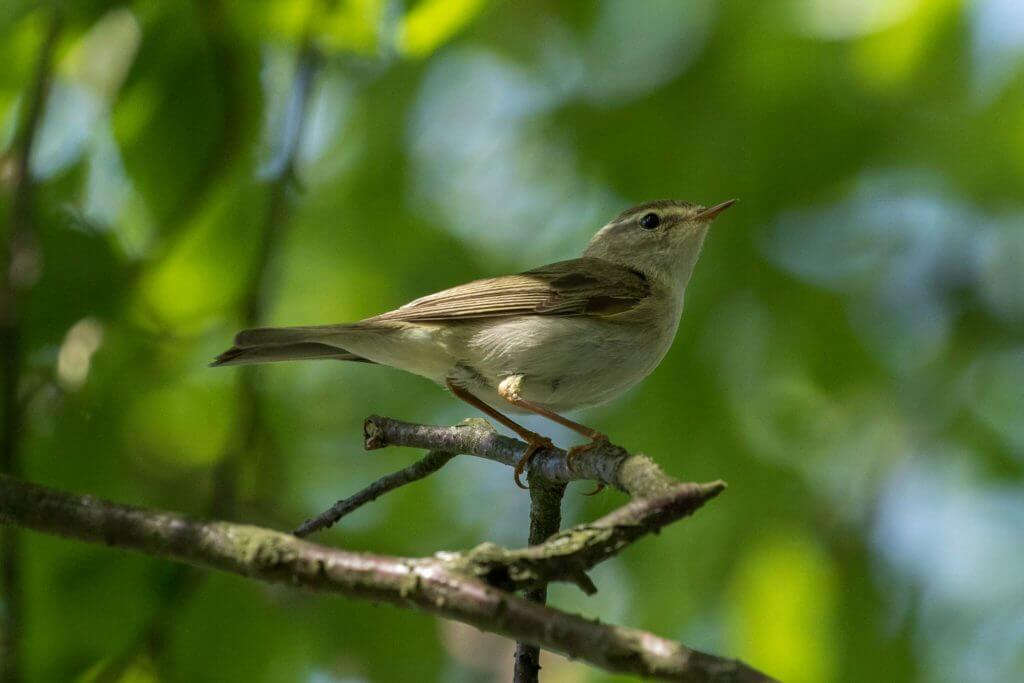 Willow Warbler @ Øyeren Nature Reserve, Norway. Photo: Håvard Rosenlund