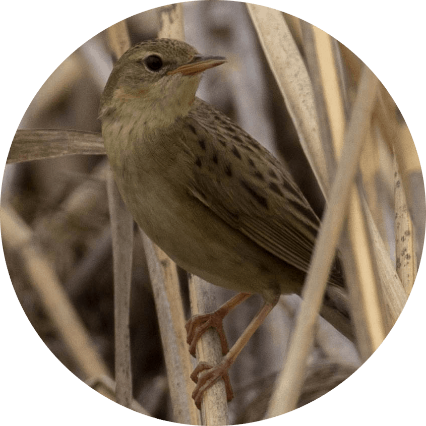 Grasshopper Warbler Circle - Homepage