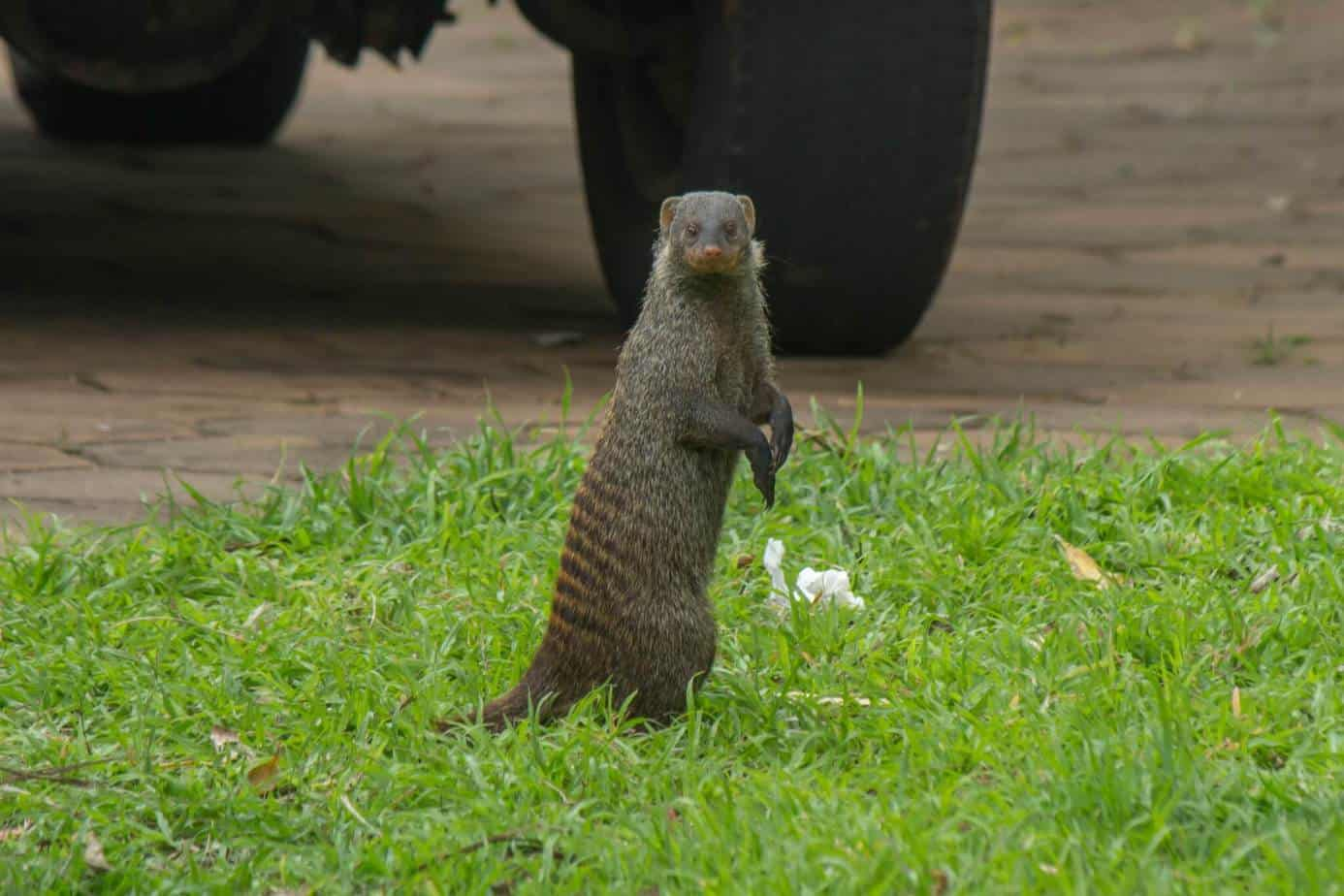 Banded Mongoose1