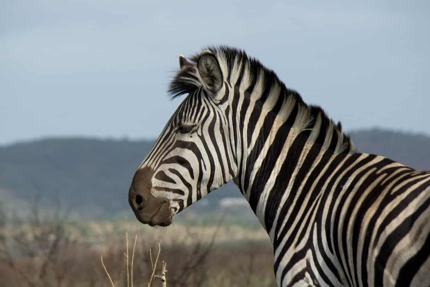 Plains Zebra1