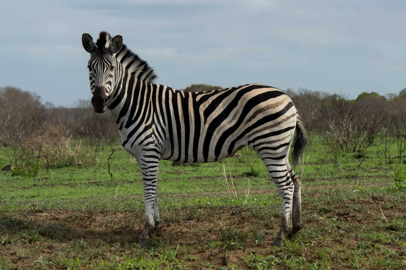 Plains Zebra @ Munyawana Game Reserve. Photo: Håvard Rosenlund