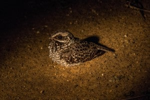 Swamp Nightjar @ Eastern Shores - iSimangaliso Wetland Park. Photo: Håvard Rosenlund