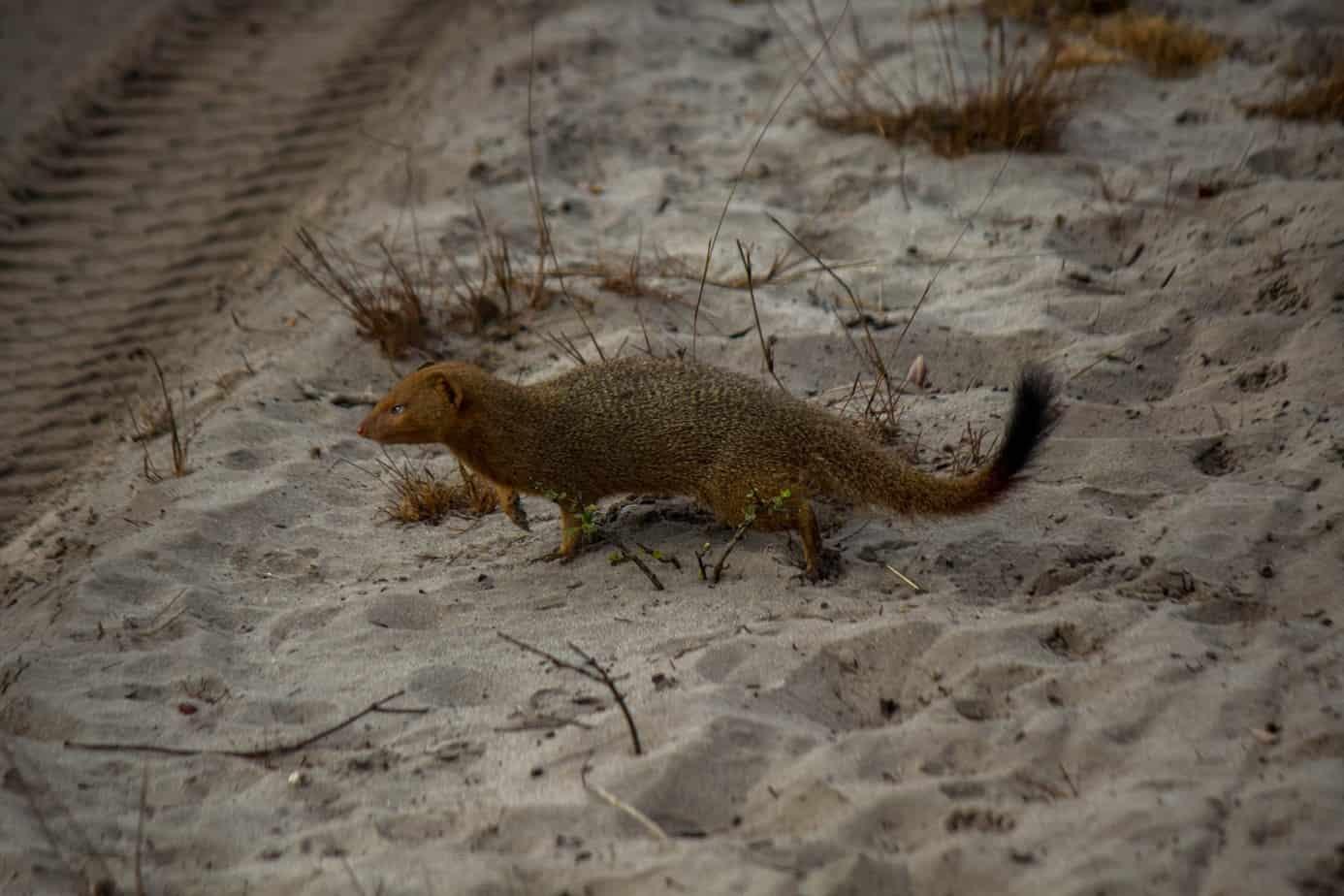 Slender Mongoose2