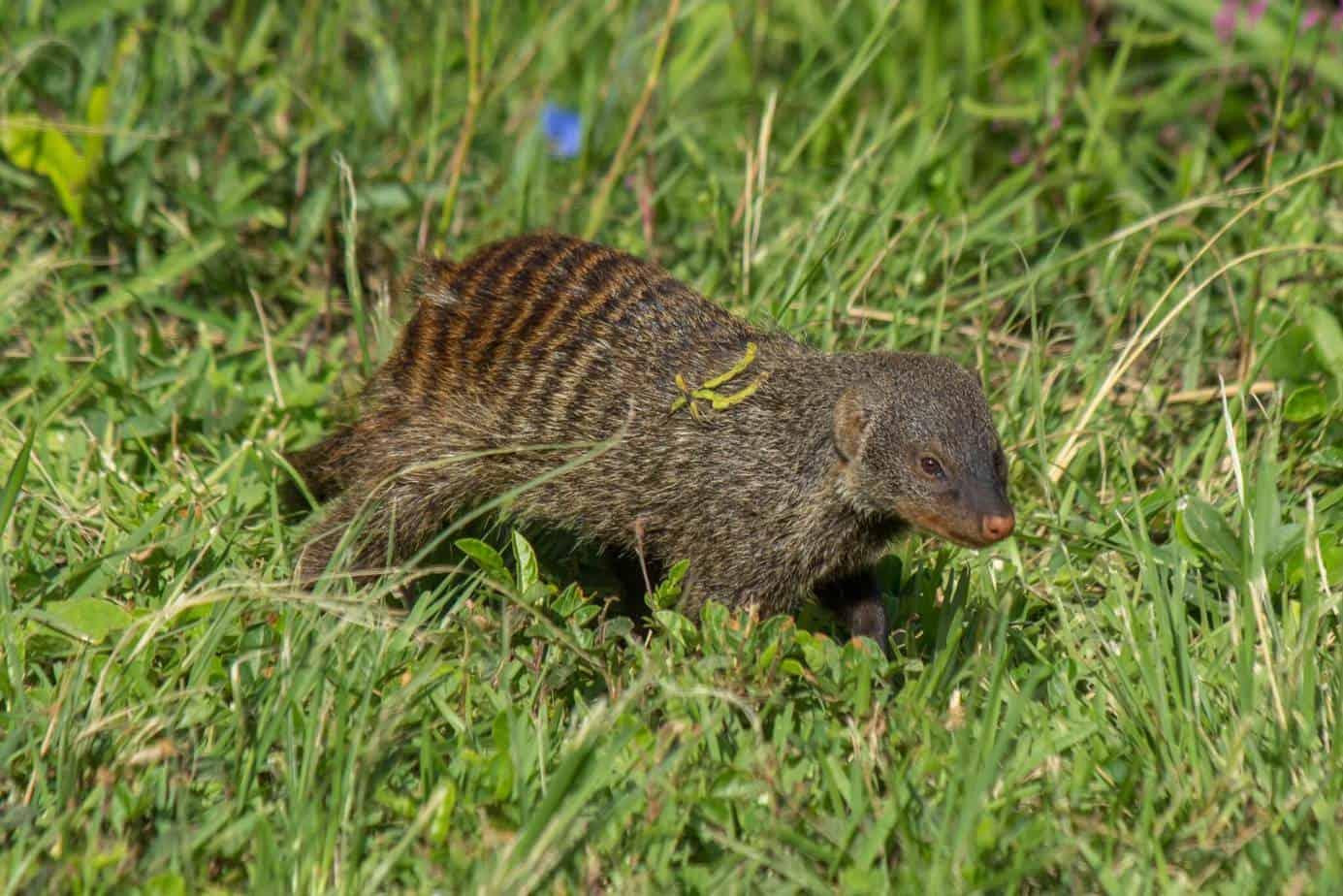 Banded Mongoose @ Eastern Shores - iSimangaliso Wetland Park. Photo: Håvard Rosenlund