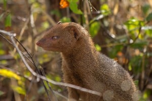 Slender Mongoose @ Tembe Elephant Park. Photo: Håvard Rosenlund