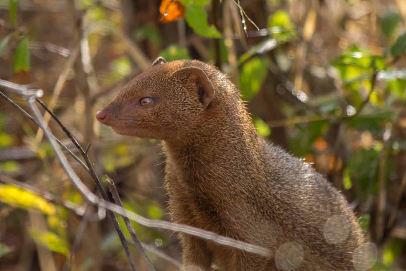 Slender Mongoose4