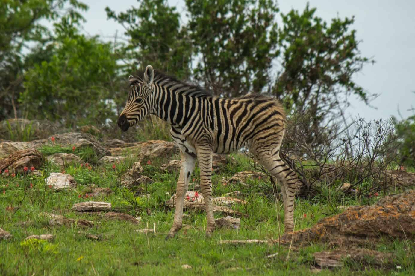 Plains Zebra10