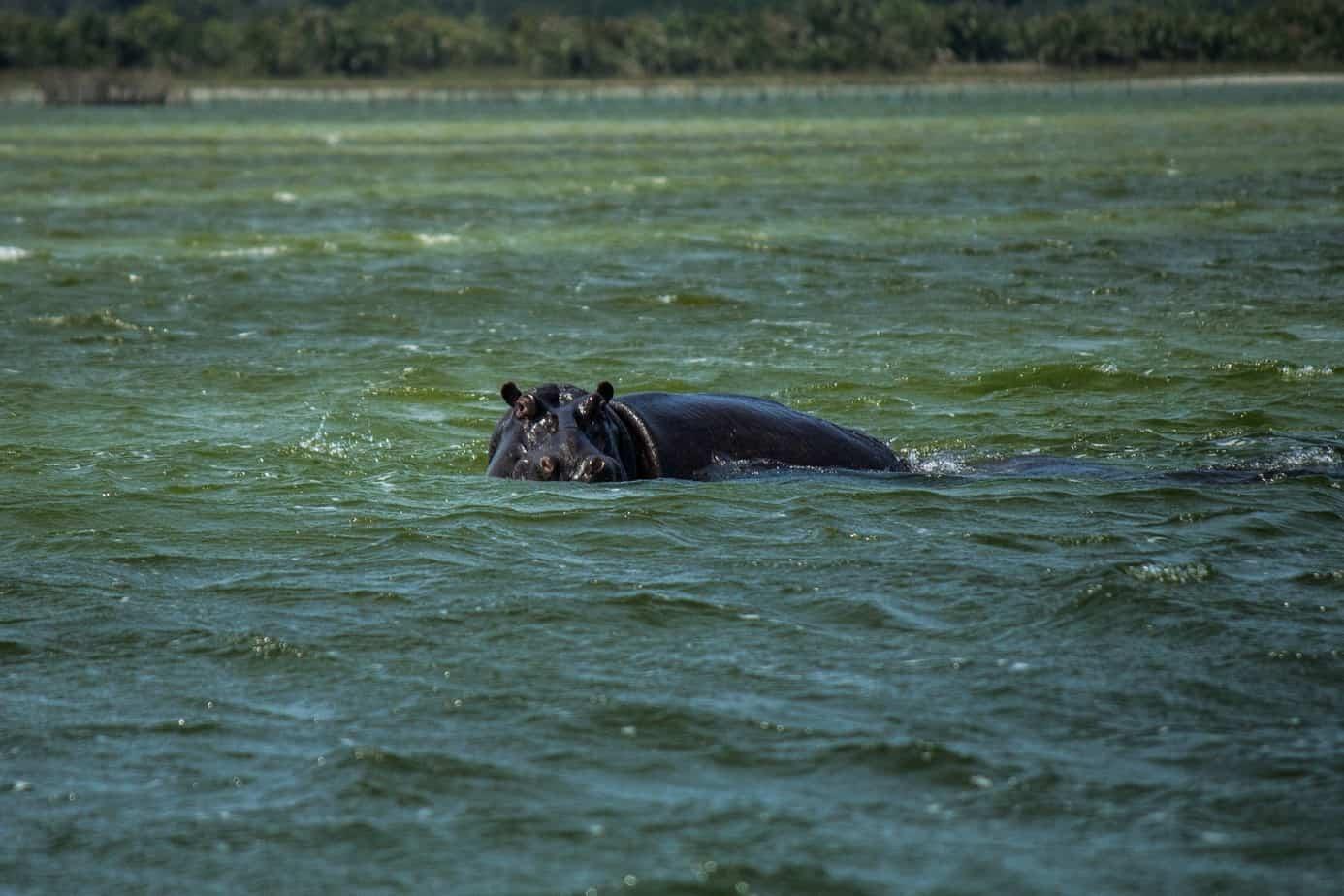 Hippo13