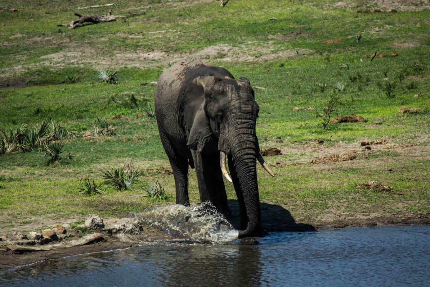 African Elephant9