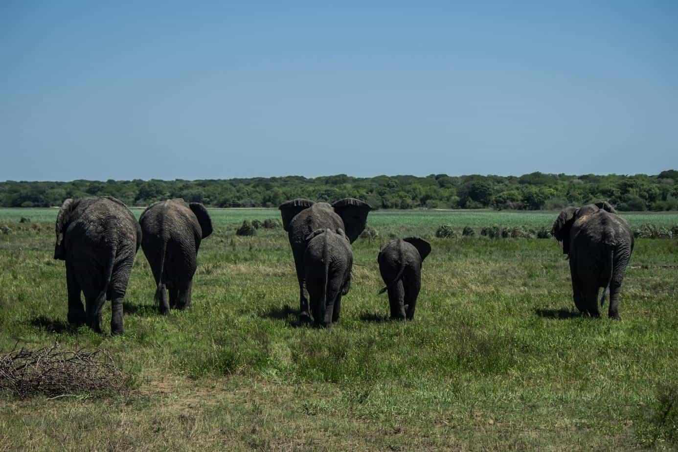 African Elephant13