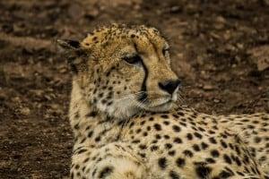 Cheetah @ Thanda Private Game Reserve. Photo: Håvard Rosenlund