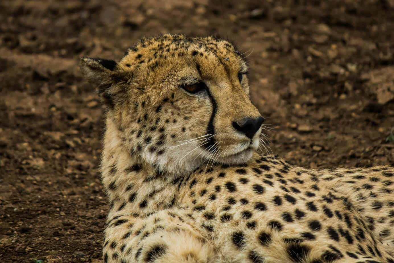 Gepard @ Thanda Private Game Reserve. Foto: Håvard Rosenlund