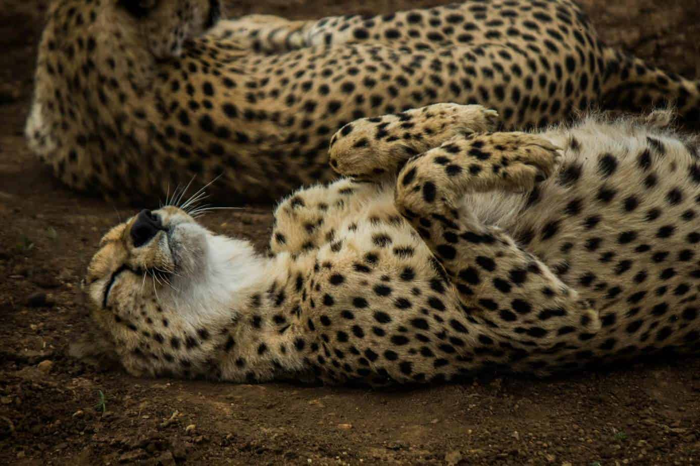 Gepard @ Thanda Private Game Reserve, Sør-Afrika. Foto: Håvard Rosenlund
