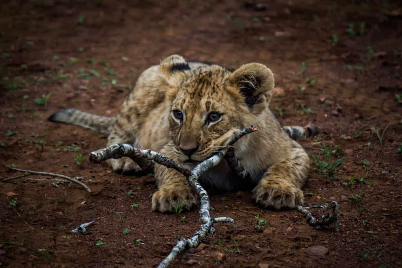 Lion Cub @ Thanda Game Reserve. Photo: Håvard Rosenlund