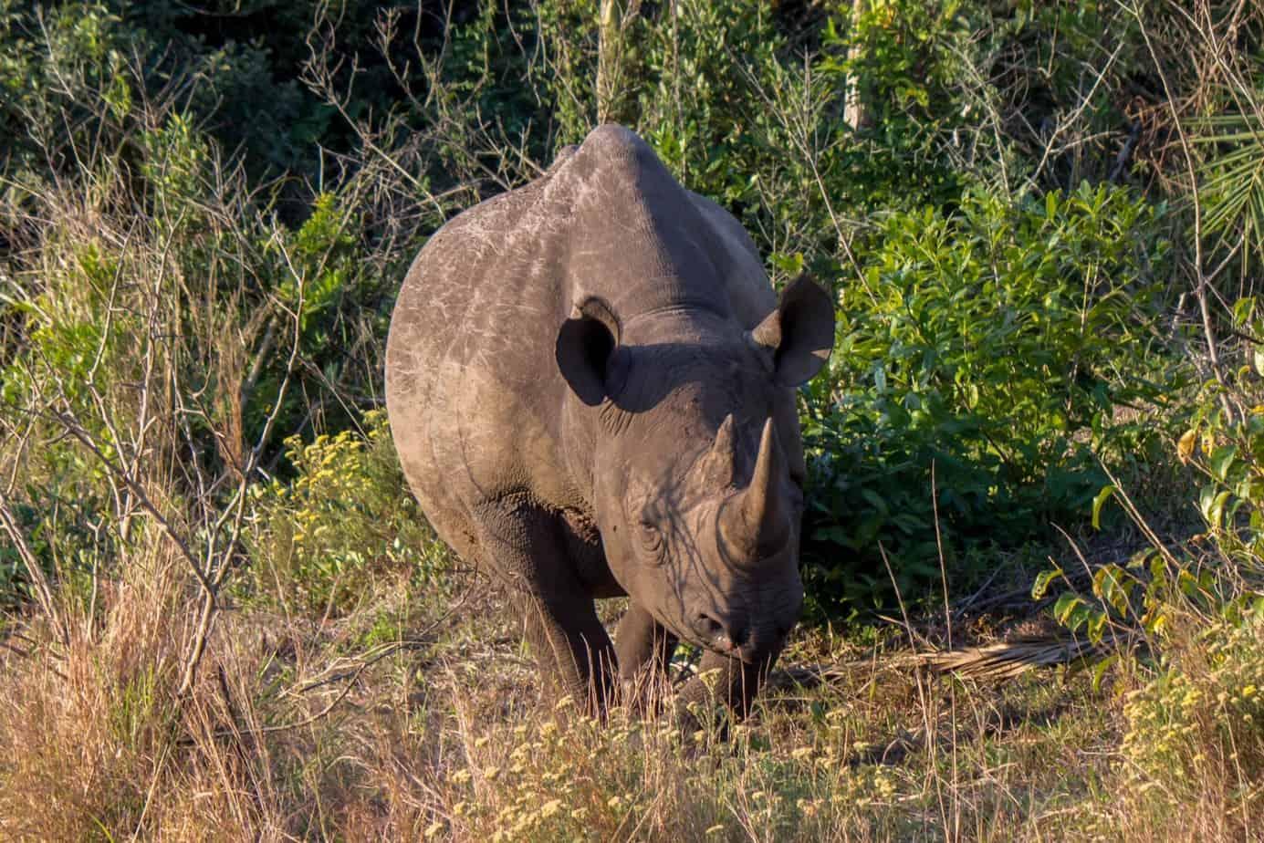 Black Rhinoceros @ Eastern Shores - iSimangaliso Wetland Park. Photo: Håvard Rosenlund