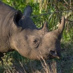 Black Rhinoceros @ Eastern Shores - iSimangaliso Wetland Park. Photo: Håvard Rosenlund