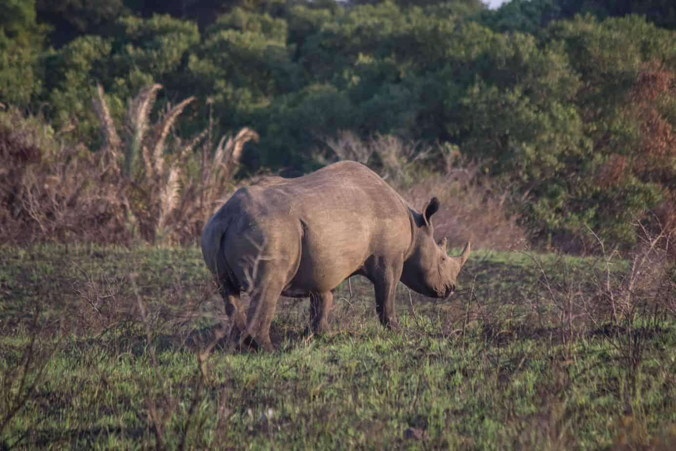 Spissneshorn @ Eastern Shores – iSimangaliso Wetland Park, Sør-Afrika. Foto: Håvard Rosenlund