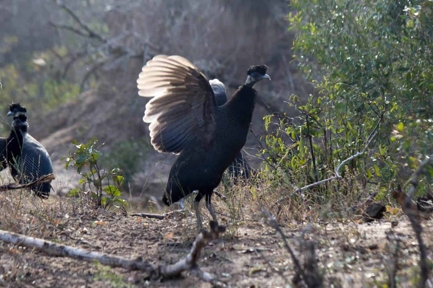 Southern Crested Guineafowl3