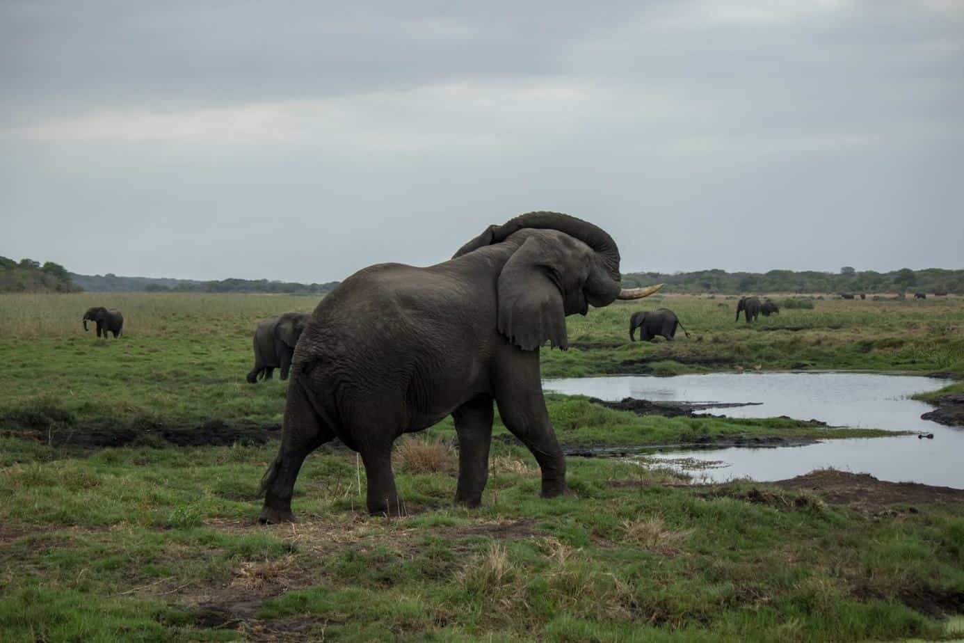 African Elephant15