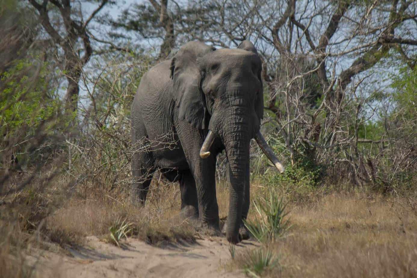 African Elephant6