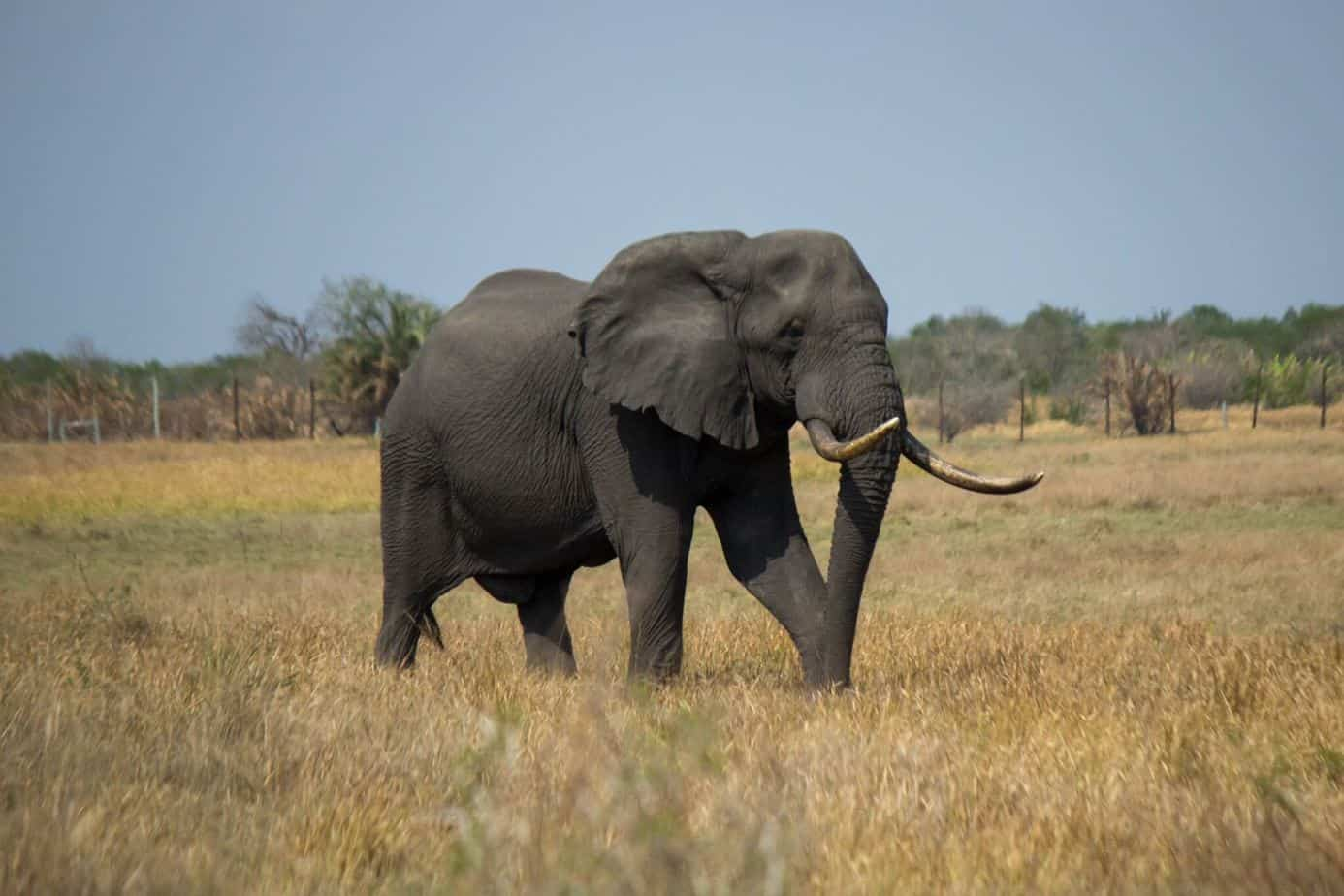 African Savannah Elephant @ Tembe Elephant Park. Photo: Håvard Rosenlund