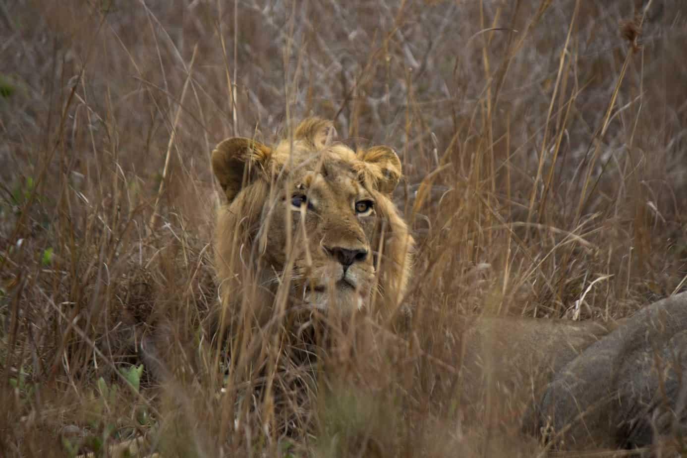 Lion @ Tembe Elephant Park. Photo: Håvard Rosenlund