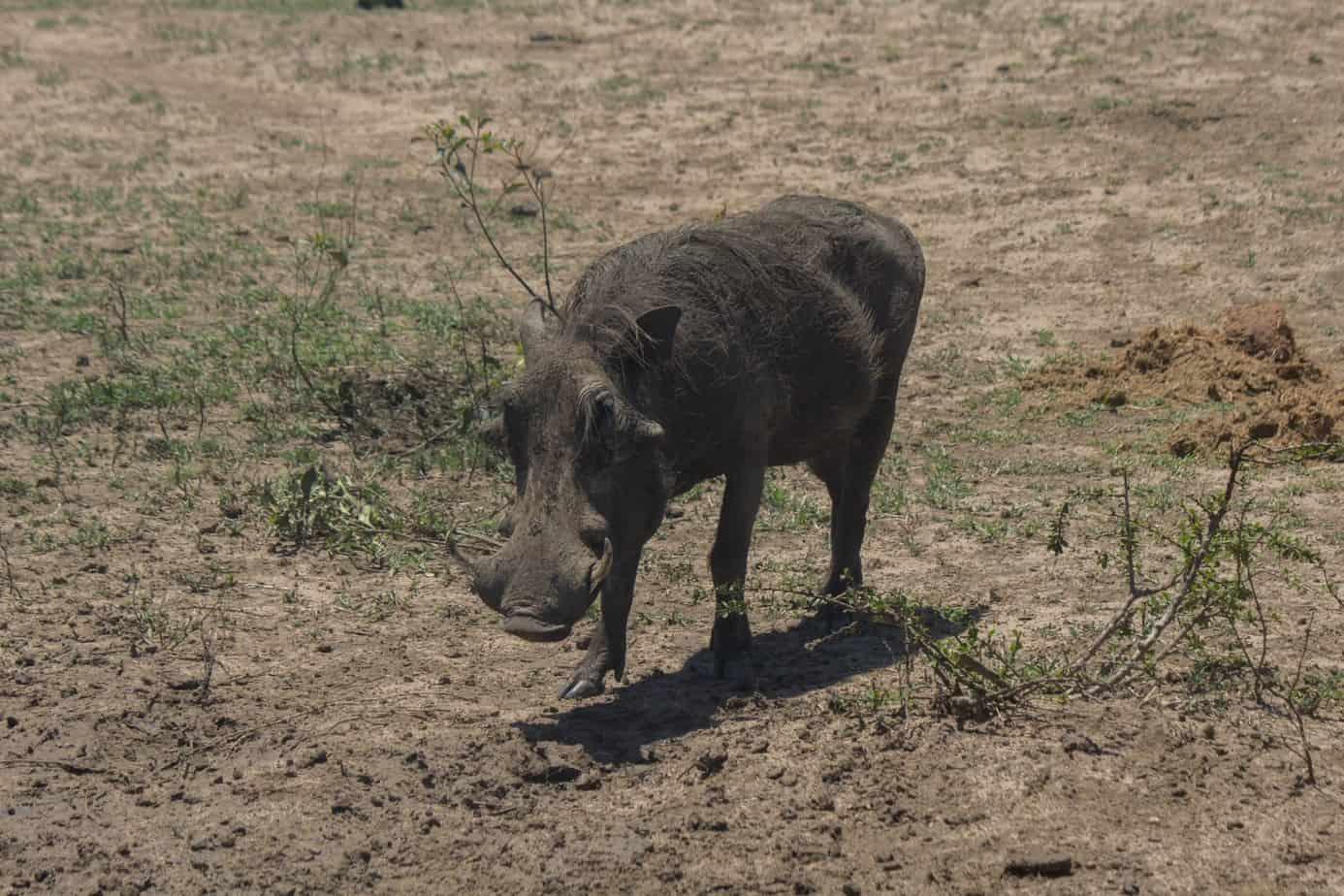 Warthog14