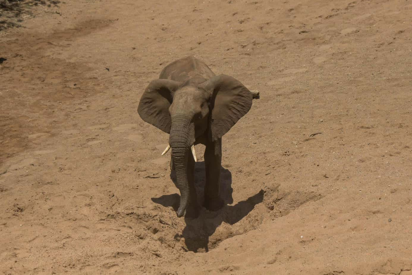African Elephant14