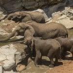 African Savannah Elephant @ Hluhluwe-iMfolozi Park. Photo: Håvard Rosenlund