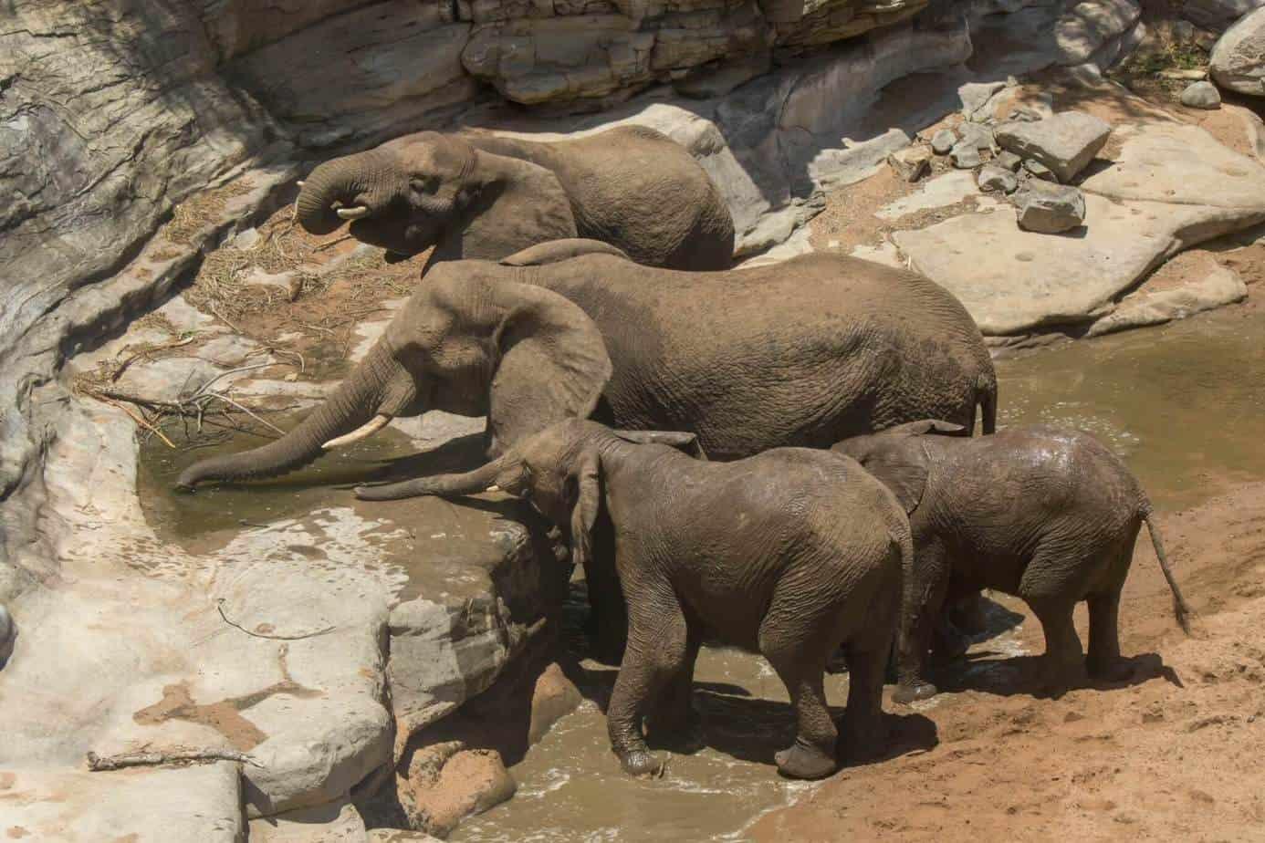 African Elephant2