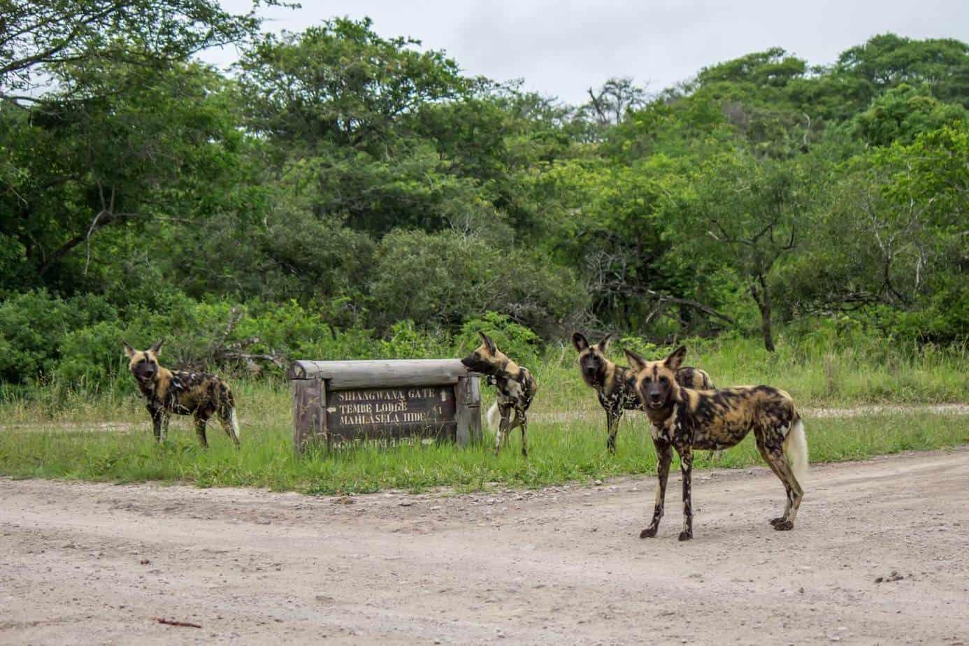 African Wild Dog6