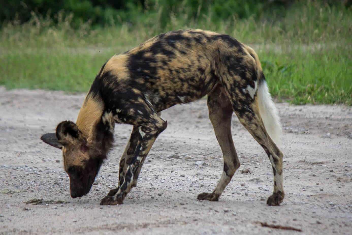 African Wild Dog7