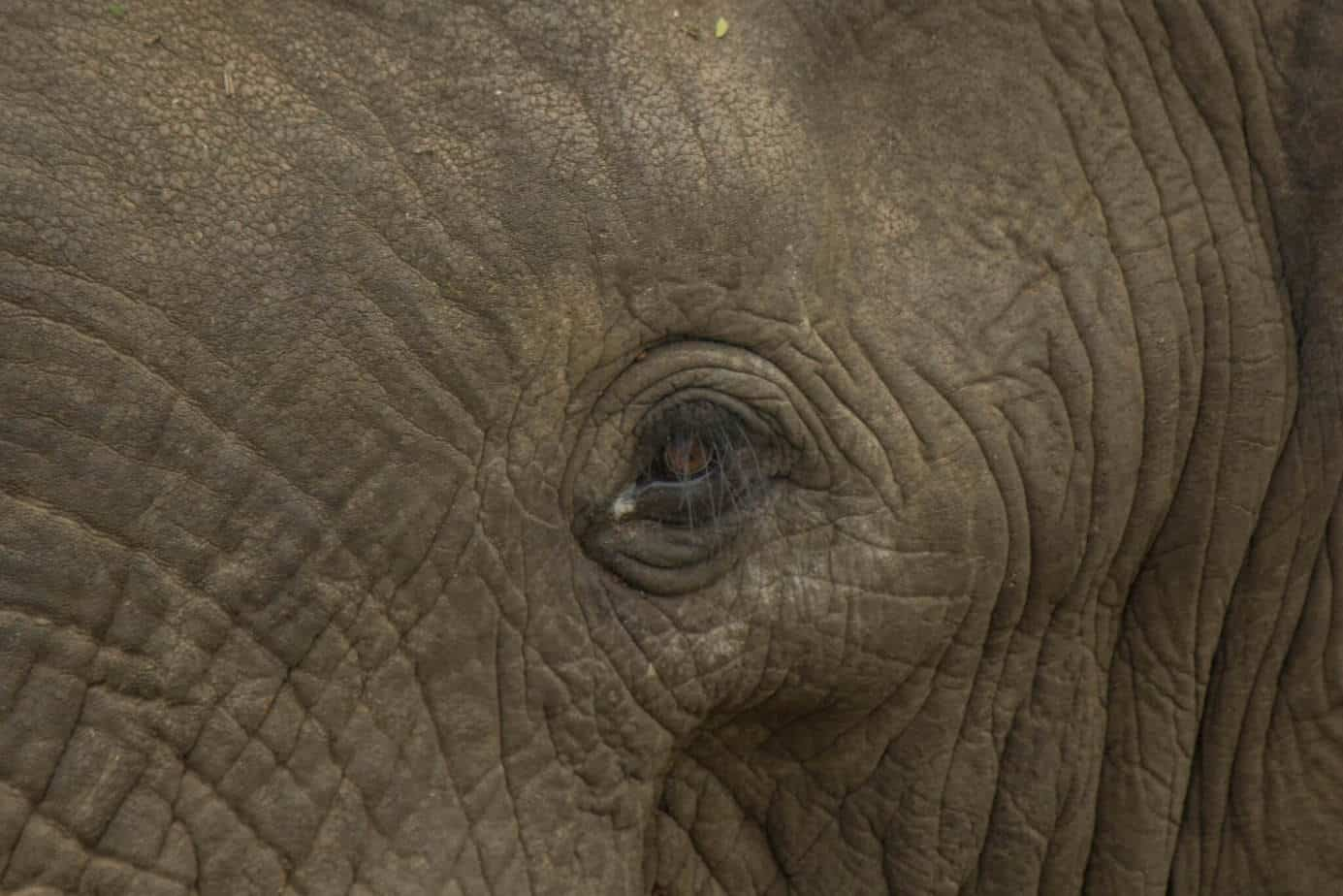 African Elephant11