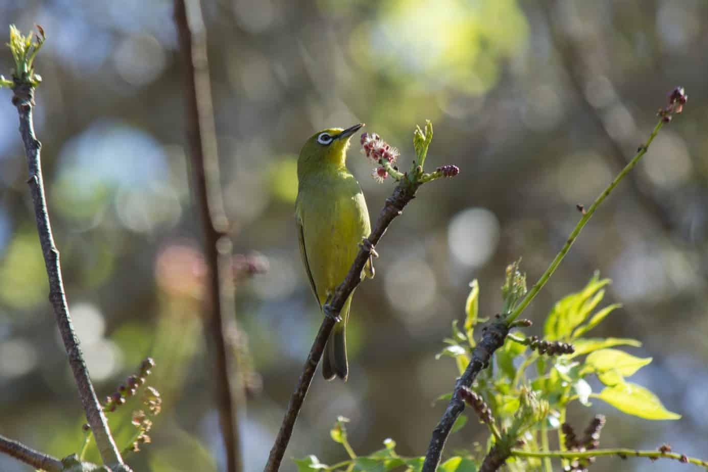 Kappbrillefugl @ St Lucia Estuary, Sør-Afrika. Foto: Håvard Rosenlund