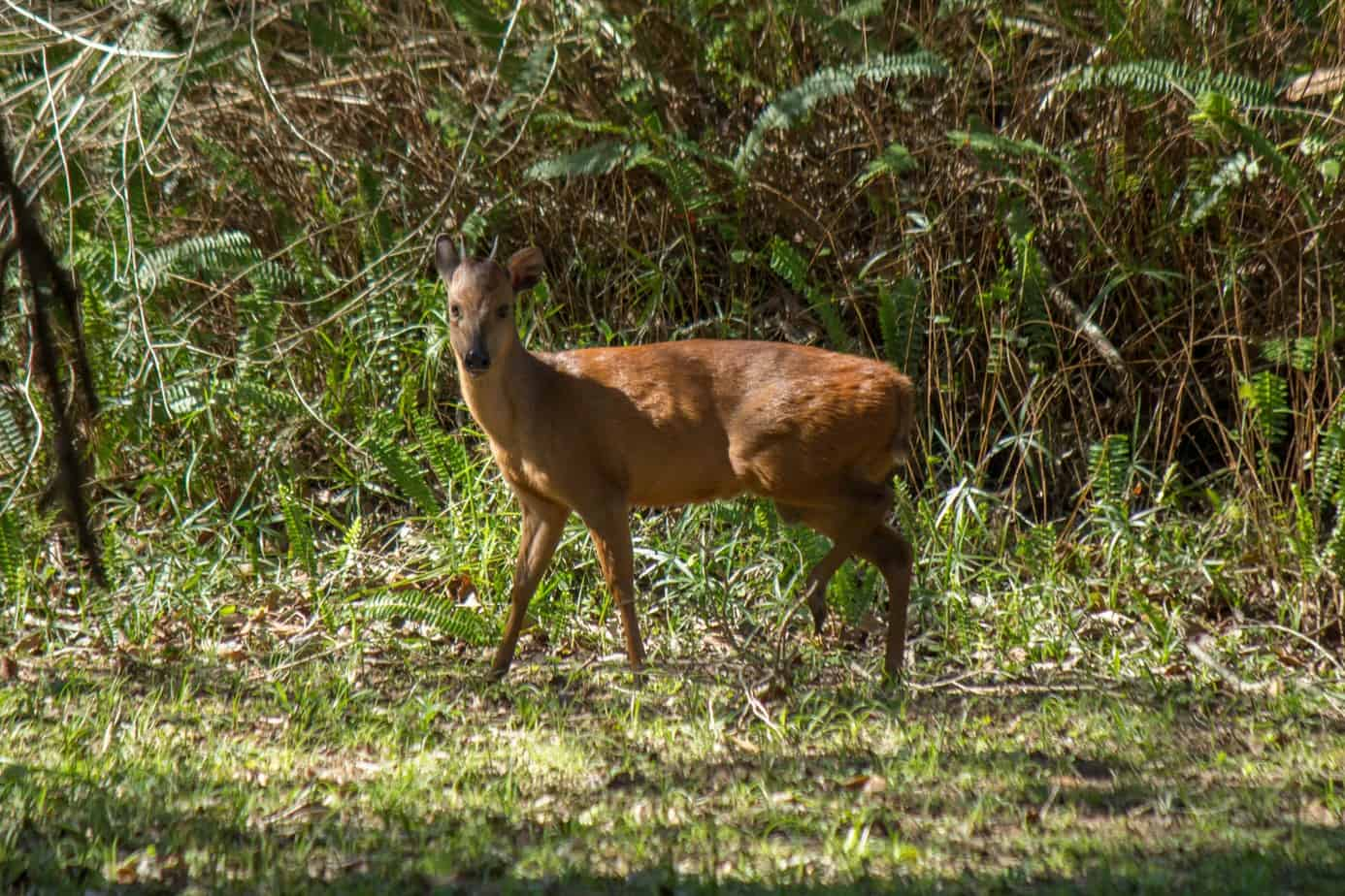 Red Forest Duiker @ St Lucia Estuary. Photo: Håvard Rosenlund