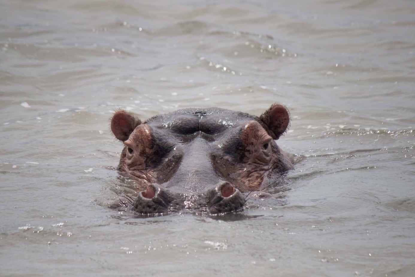 Hippo9