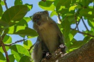 Samango Monkey @ Cape Vidal - iSimangaliso Wetland Park. Photo: Håvard Rosenlund
