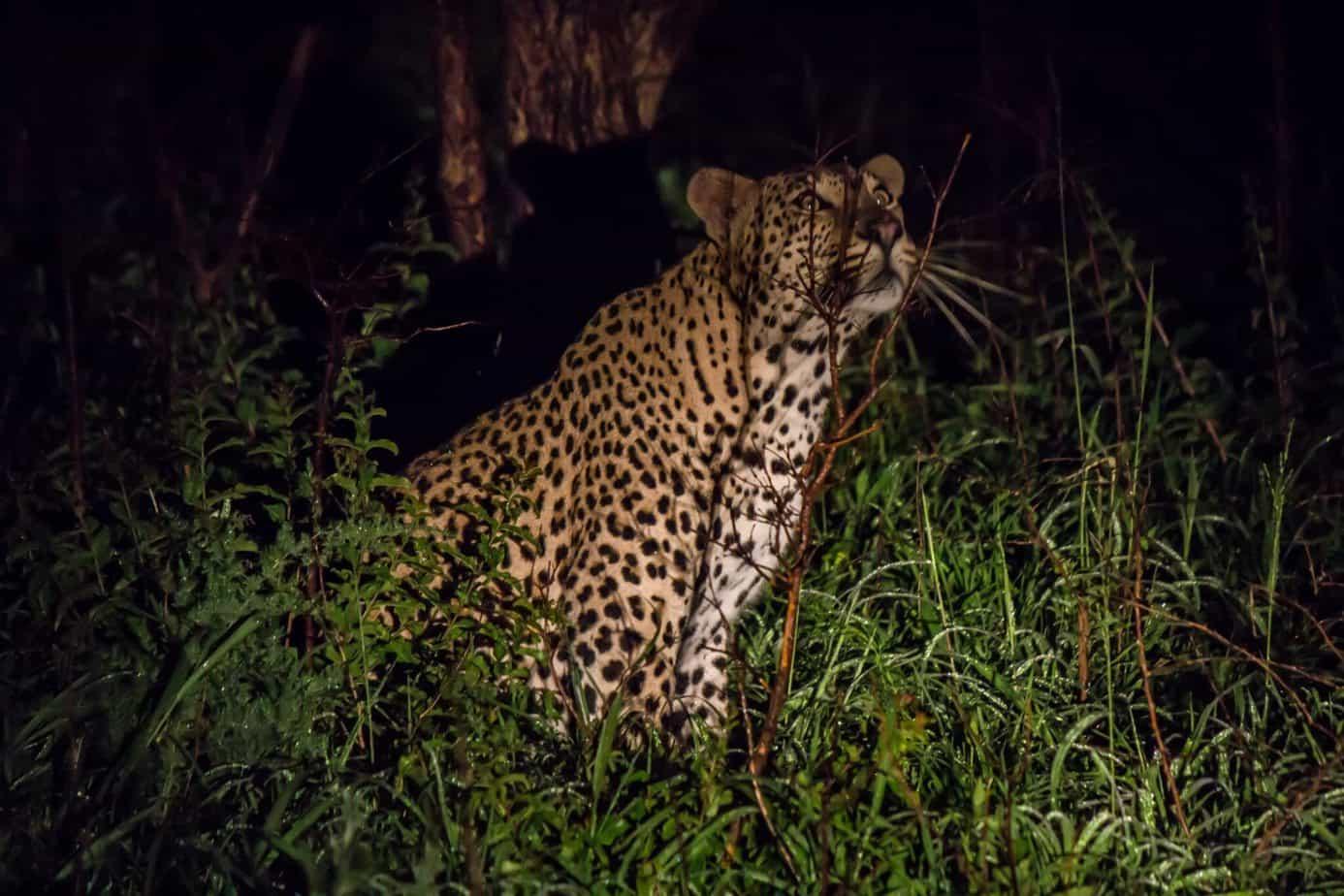 Leopard7