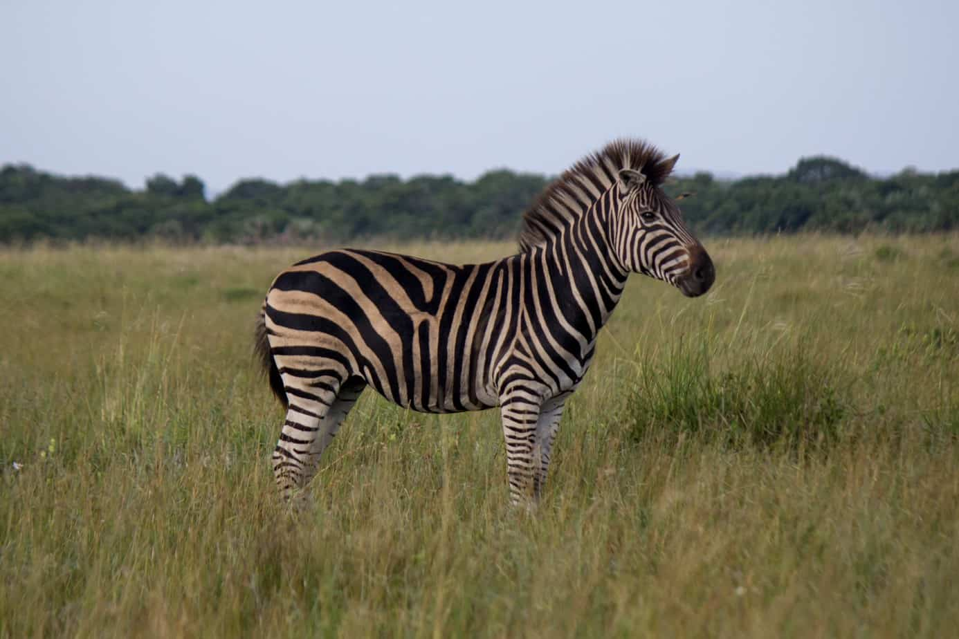 Plains Zebra8