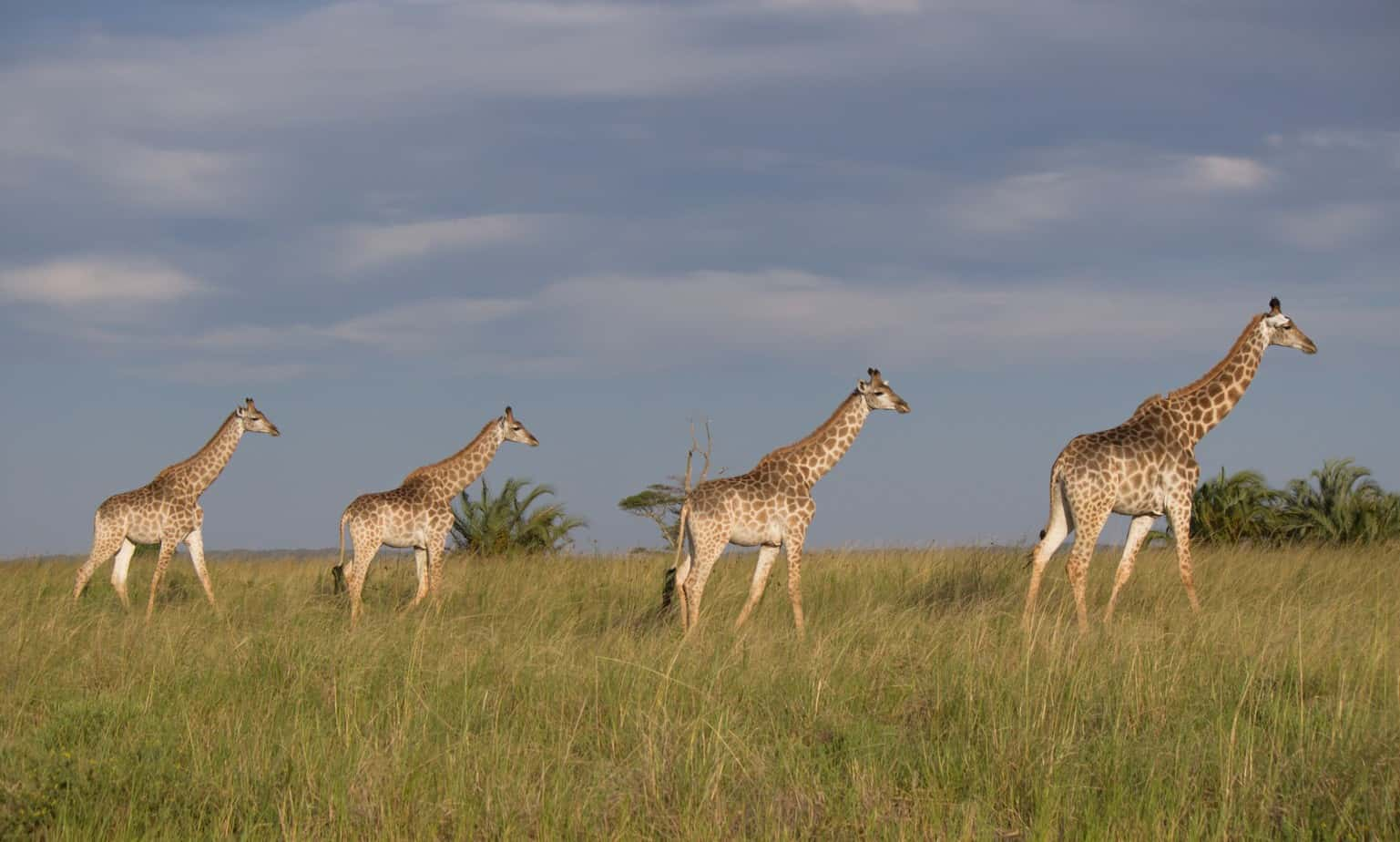 Sørafrikansk Sjiraff @ Western Shores - iSimangaliso Wetland Park, Sør-Afrika. Foto: Håvard Rosenlund