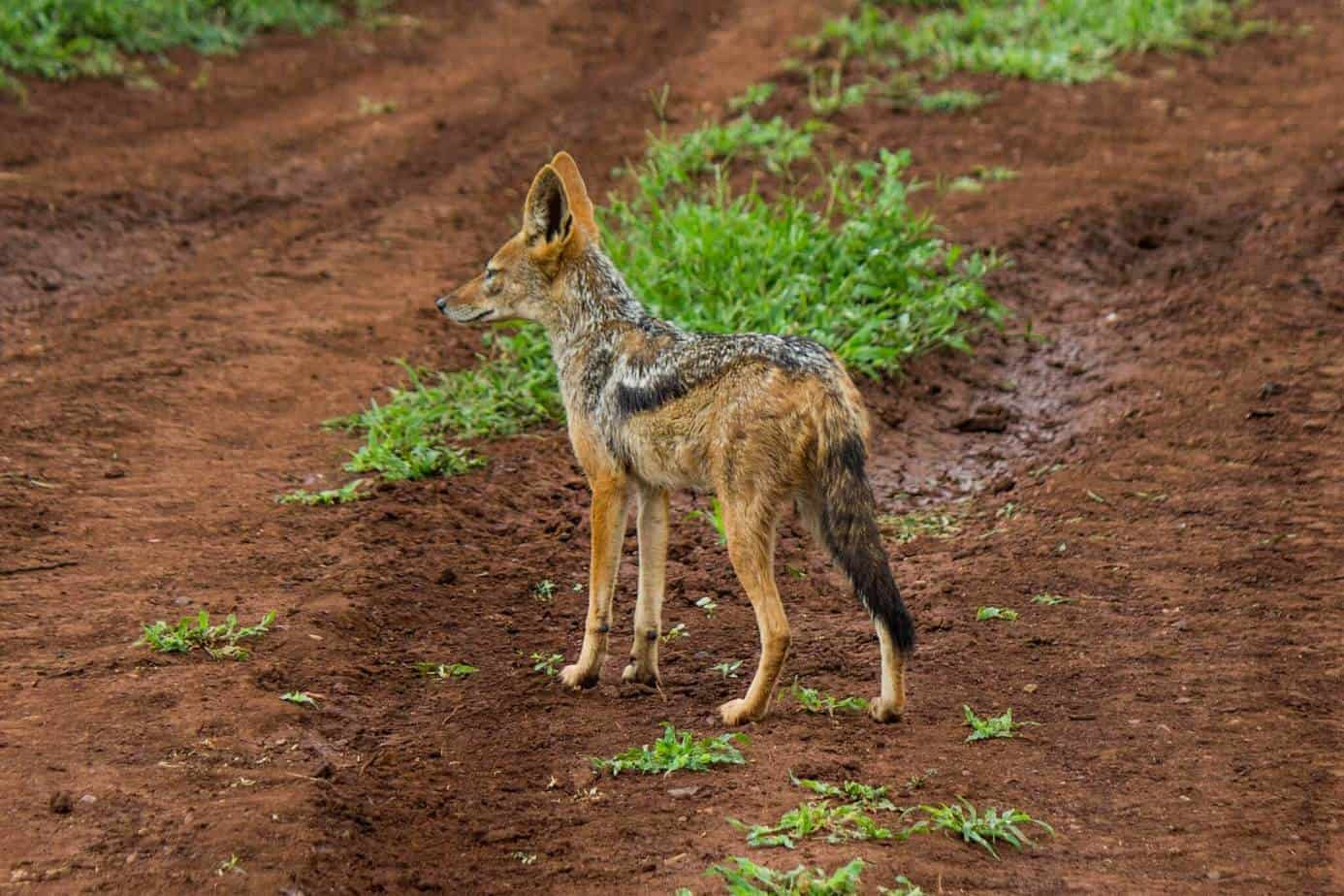 Svartryggsjakal @ Thanda Private Game Reserve. Foto: Håvard Rosenlund