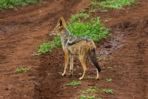 Black-Backed Jackal @ Thanda Private Game Reserve. Photo: Håvard Rosenlund