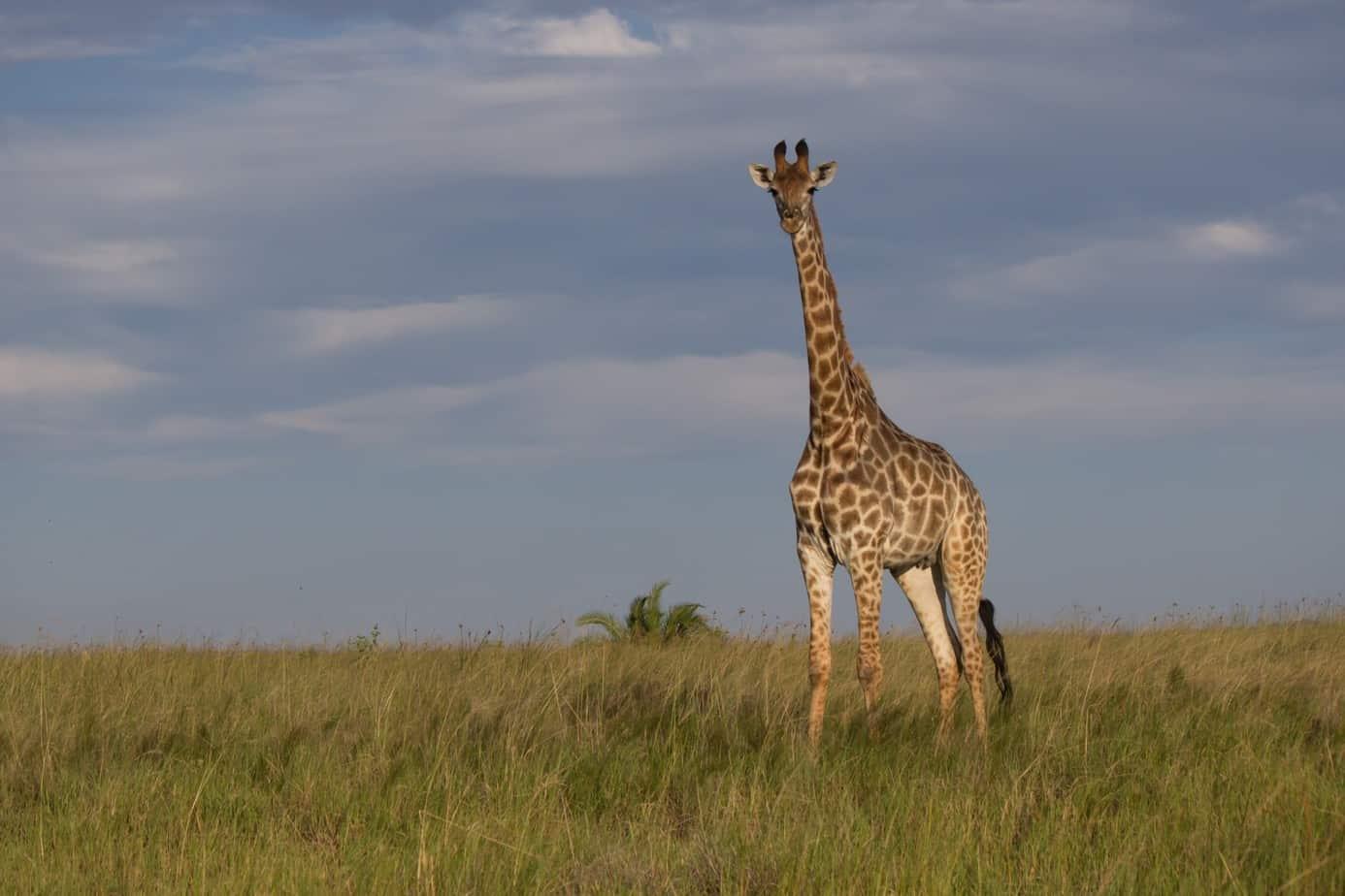 Southern Giraffe @ Western Shores – iSimangaliso Wetland Park. Photo: Håvard Rosenlund