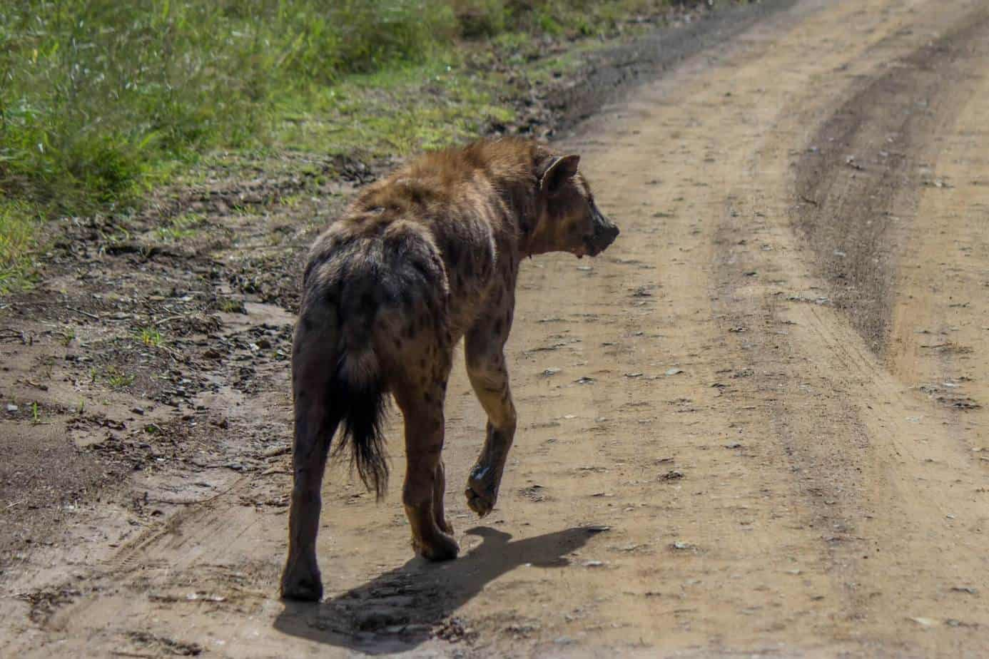 Spotted Hyena8