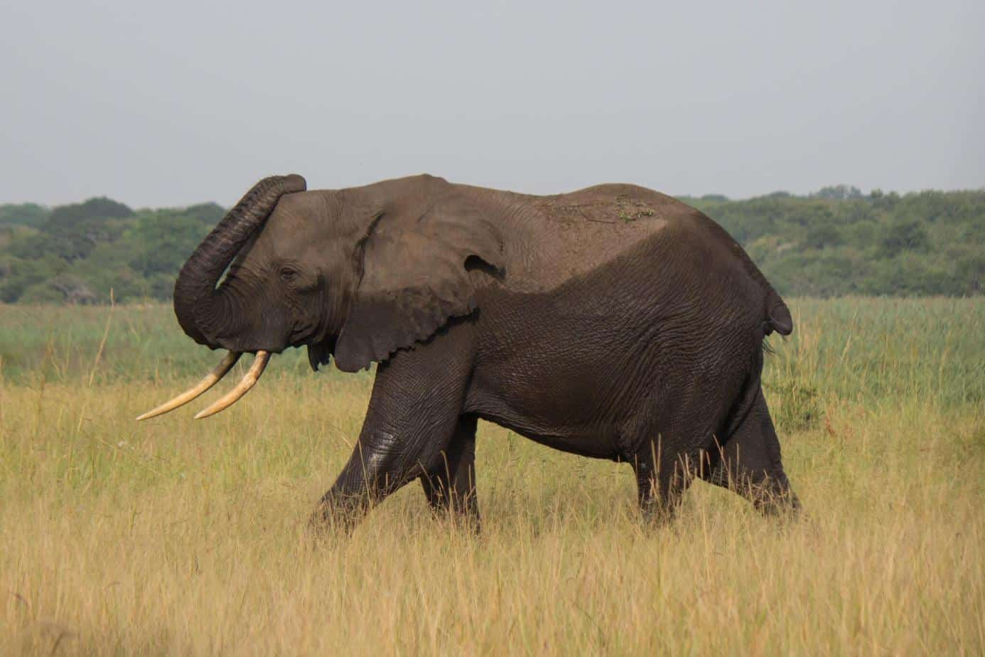 African Elephant8