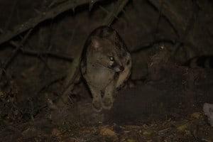 Large-Spotted Genet @ Hluhluwe-iMfolozi Park. Photo: Håvard Rosenlund