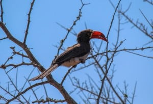 Crowned Hornbill @ Tembe Elephant Park. Photo: Håvard Rosenlund