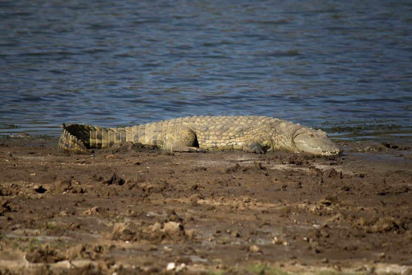 Nile Crocodile @ Ndumo Game Reserve. Photo: Håvard Rosenlund