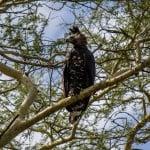 Crowned Eagle @ Ndumo Game Reserve. Photo: Håvard Rosenlund